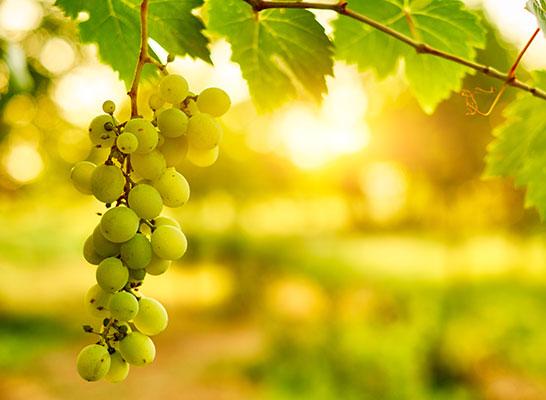 wine-sop-organic-thumb