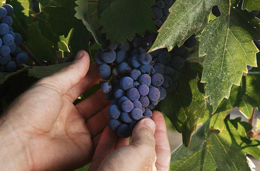 Petit Verdot Wine Variety Grapes