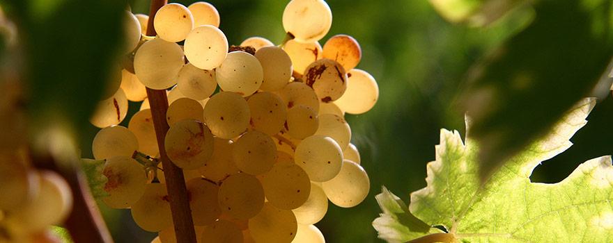 Australian Verdelho Wine