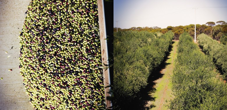 Freshly picked olives at Cobram Estate