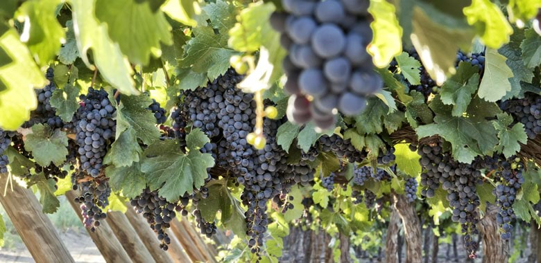 Know Your Variety – Pinot Noir