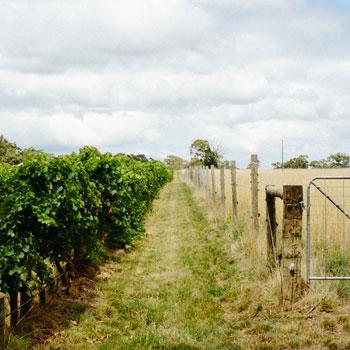 Chain of Ponds vineyard