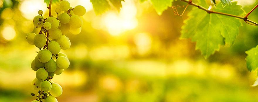 Wine Sop Organic