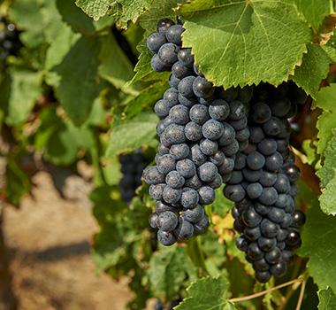 Byron and Harold vines and grapes