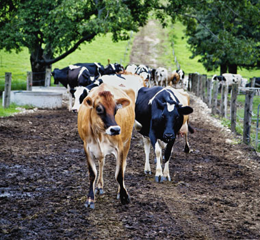 Butter cows