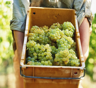 Cape Mentelle wine grapes