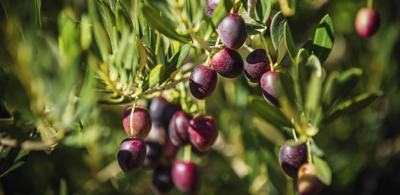 Cobram Estate: Picking the olives