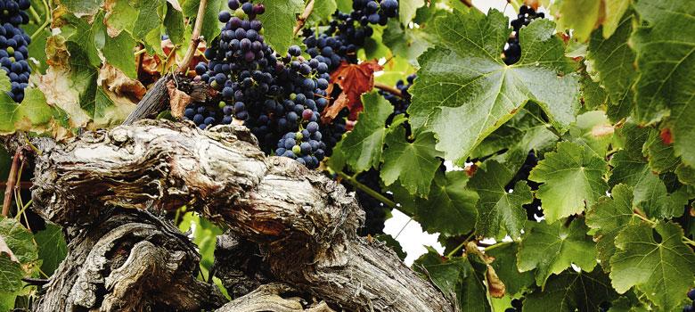 Australian Wine: A Flavour Evolution